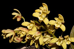 Dendrobium gracilicaule (andreas lambrianides) Tags: dendrobiumgracilicaule orchidaceae thelychitongracilicaulis dendrobiummacropussubspgracilicaule australianflora australiannativeplants australianrainforests australianrainforestplants australianorchids arfp qrfp nswrfp australianrainforestorchids thelychiton tropicalarf subtropicalarf lowlandarf arfepiphyte arflithophyte arfflowers yellowarfflowers