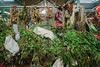 Yerba Buena, Colombia (AdamCohn) Tags: adamcohn colombia kmtoin piedecuesta santanderdepartment geo:lat=6984379 geo:lon=73051342 geotagged herbs wwwadamcohncom yerbabuena santander