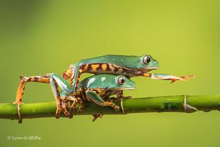 Excuse me! - Super Tiger Legged Waxy Monkey Leaf Frog D50_8080.jpg