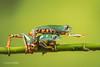 Excuse me! - Super Tiger Legged Waxy Monkey Leaf Frog D50_8080.jpg (Mobile Lynn) Tags: amphibian frog supertigerleggedwaxymonkeyleaffrog nature captive fauna wildlife bournemouth england unitedkingdom gb coth specanimal coth5 ngc sunrays5 npc