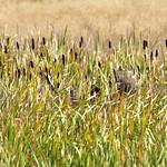 Moose on Seedskadee National Wildlife Refuge thumbnail