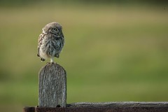 Little owl owlet (Athene noctua) (Steven Whitehead) Tags: littleowl owl owls birds birdofprey little 2017 canon 500mm 500mmf4 500mmf4is canon500mm wildlife wild nature feeding feathers canon5dmk4