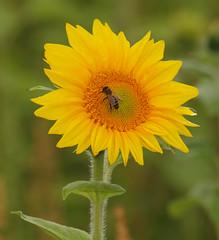 2017_08_0903 (petermit2) Tags: sunflower oxborough norfolk bee