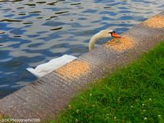 Break Time 🐥 (DCPhotography2000) Tags: swan bird beautiful animal animalplanet nature naturephotography photography canal water outdoors uk europe serene
