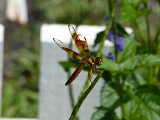 Eastern Amberwing - Perithemis tenera - Harry P Leu Gardens 13Aug17
