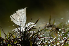 Dew Drops (evisdotter) Tags: dew drops daggdroppar morning light feather fjäder macro bokeh nature sooc spiderweb spindeltrådar reflections