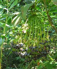 mackinlaya.confusa.fruits.2 (dave.kimble) Tags: mackinlaya mackinlayaconfuse araliaceae arfp cyrfp qrfp tropicalarf lowlandarf uplandarf arffs bluearffs blackarffs understoreyarfp