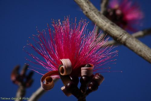 Hot pink (Pseudobombax ellipticum)
