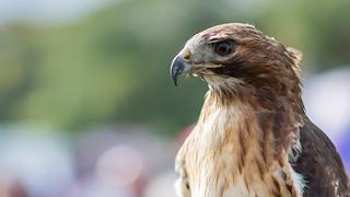 Red tailed hawk portrait wallpaper