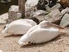 Pelikanen (ericderedelijkheid) Tags: ouwehandsdierenpark rhenen dierentuin zoo netherlands