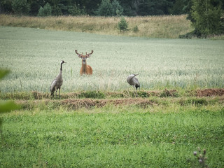 Two Cranes and white-tailed deer