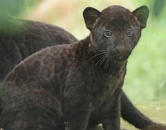 jaguar, born 28 6 2017 artis BB2A2628 (j.a.kok) Tags: jaguar blackjaguar zwartejaguar jaguarcub artis rica mowgli mammal zoogdier dier animal southamerica zuidamerika kat cat predator pantheraonca