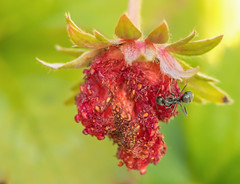 Ins-119.jpg (Staying Healthy) (luc_pic) Tags: garden berry sugar essentialnutrients ant strawberry monday macro macromonday