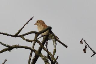 Neuntöter (Jungvogel) - lanius collurio