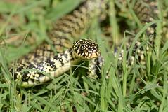 western whip snake - Hierophis viridiflavus (1 of 5 images) (willjatkins) Tags: snake europeansnakes snakesofeurope wildlife europeanwildlife reptilesofeurope europeanreptiles frenchwildlife frenchreptiles frenchsnakes reptilesoffrance snakesoffrance whipsnake westernwhipsnake greenwhipsnake hierophis hierophisviridiflavus nikond7100 sigma105mm