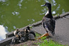 Mum on duty (mugnainimarco) Tags: papera duck nature pond lake water animal cute animali paperine papere pozzanghera stagno acqua natura soleggiato verde blu green blue ani wings cuccioli nane babies mum duty