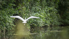 Moltres (Kilworth-Simmonds) Tags: red wolverhampton heron canal water moltres