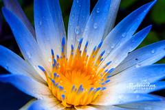 Water Lily (BlueLunarRose) Tags: waterlily lily blue white yellow drops waterdrops dewdrops macro petals nature nymphaeaceae sonyalphadslra200 sal1855 bluelunarrose ngc npc