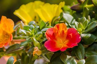 Portulakröschen - Portulaca grandiflora