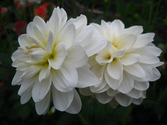 love dahlias (VERUSHKA4) Tags: dahlia canon nature flower two fleur flora europe russia moscow city cityscape vue view ville summer august petal white verdure georgine