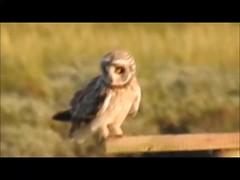 Short-eared Owl, Rogerstown Estuary/Turvey Park  15-8-17 (Brian Carruthers-Dublin-Eire) Tags: shorteared owl shortearedowl asio flammeus asioflammeus strigiformes strigidae hiboudesmarais sumpfohreule lechuzacampestre gufodipalude velduil bird birdofprey bop outdoor animalia animal