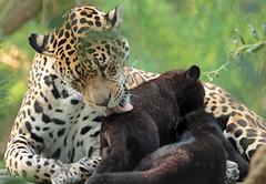 jaguar Rica with cubs artis BB2A8059 (j.a.kok) Tags: jaguar jaguarcub blackjaguar zwartejaguar cub welp jaguarwelp rica moederenkind motherandchild artis animal mammal kat cat predator zuidamerika southamerica zoogdier dier pantheraonca
