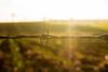 DSC_0207 (Rei Cardo) Tags: gira sol girassóis cerca arame farpado sunset flowers flower rice
