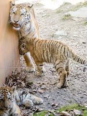 Photo de famille (Zéphyrios) Tags: besançon doubs franchecomté nikon d7000 citadelle musée muséum jardinzoologique zoo animal tigre sibérie tigredelamour panthera tigris famille social félin