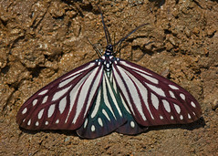 Cyclosia papilionaris (Zygaenidae) (mishko2007) Tags: thailand chiangdao 105mmf28