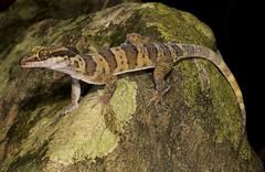 Hoskin's Ring-tailed Gecko (Cyrtodactylus hoskini) (Gus McNab) Tags: