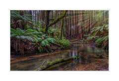 A walk back in time (BlueberryAsh) Tags: fff got portcampbell september2017 beach californiaredwoods trees aireriver greatoceanrd river stream ferns outdoor landscape nikond750 nikon24120 focalscapephotography airevalleyredwoods forest californianredwoods u