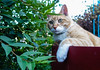 Ziggy Cat - Box Funny Business 6-1-17 11 (anothertom) Tags: cats ziggycat yard outside gardenbox catinabox catface observing watchtower onthelookout yardpatrol funnycat wideeyes alert paws sonyrx100ii 2017