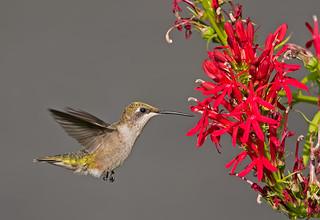Ruby-throated Hummingbird: Archilocus colubris