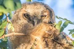 (Marc Crumpler (Ilikethenight)) Tags: wildlife bird owl greathornedowl tree usa bayarea sfbayarea eastbay contracostacounty antioch contraloma marccrumpler eastbayregionalparkdistrict ebparksok ebrpd canon canon7dmarkii 7dmarkii tamron150600mmf563