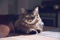 Cat (-Simulacrum-) Tags: animal nikon nikond5300 sigma cat portrait catportrait dof 170500mmf28