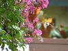 Hummingbird peeing IMG_5010 (lexlamaster1) Tags: hummingbird bird migrating peeing urinating
