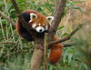 Red panda - Rode panda in Ouwehands Dierenpark (joeke pieters) Tags: 1310461 panasonicdmcfz150 rodepanda kleinepanda katbeer ailurusfulgens redpanda kleinerpanda petitpanda pandaroux ouwehandsdierenpark rhenen gelderland nederland netherlands holland platinumheartaward ngc npc