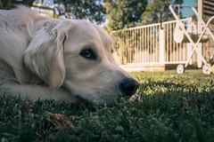 Ivy-May (Hp-Imagery) Tags: dog happy sun golden retriever animal sony a6300 lightroom ivy orange teal
