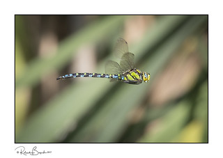 Perfect profile - Southern hawker dragonfly flying (Aeshna cyanea)