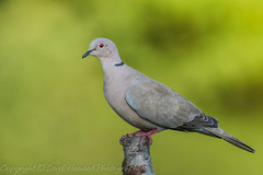 Collared Dove - (Streptopelia decaocto) 'Z' for zoom (hunt.keith27) Tags: streptopeliadecaocto collareddove dove green redeye devon canon pale pinkybrowngreycolour black neck collar deep red eyes reddishfeet monotonouscooing seeds grain bokeh