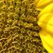 Sonnenblumen IV