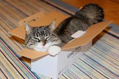 What...? (andymiccone) Tags: cat miisa katze katt kissa tabby feline chat gato grey gray animal beautiful cute pet domestic cardboard box