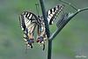 Two generations (alfvet) Tags: macro farfalle veterinarifotografi nikon d5200 natura butterfly lepidotteri papilio nature insetti ngc npc