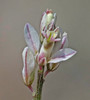 CAE005367a (jerryoldenettel) Tags: 170907 2017 broommilkwort fabales nm nm506122mileseastofitsjunctionwithus54 oteroco polygala polygalascorpioides polygalaceae rosids wildflower flower milkwort