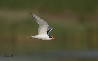 Common-Tern-2124