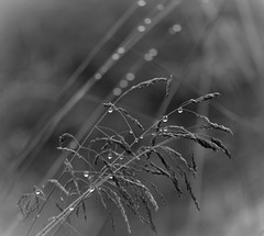 Raindrops (MortenTellefsen) Tags: raindrops raindrop droplets drop dråper regndråpe bw blackandwhite blackandwhiteonly straws monocrome macro makro monochrome svarthvitt norway nature norwegian natur norsk wet