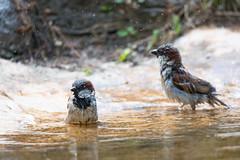 Sparrow (Cloudtail the Snow Leopard) Tags: spatz zoo karlsruhe tier animal sperling hasusperling vogel bird passer domesticus house sparrow