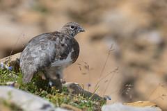 Alpenschneehuhn 17019 (bertheeb) Tags: alpenschneehuhn vogel nikon d750