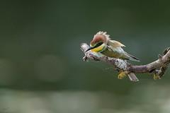 Bijeneters (wimdebaets) Tags: ruffec centrevaldeloire frankrijk fr