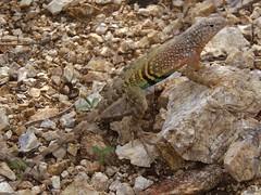 Greater Earless Lizard (rstickney37) Tags: arizonareptiles arizonalizards earlesslizard greaterearlesslizard cophosaurustexanus